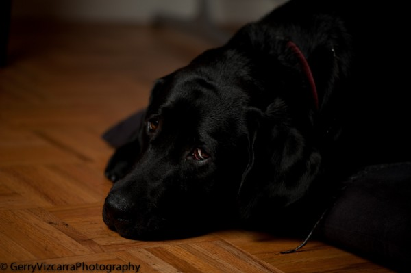 Black Labrador Retriever