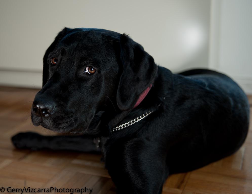 Black-Labrador-Retriever-4